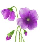 Duab Nai Phoo Vaj Pov Yog Hmong Tus Huab Tais. Purple-poppy-6