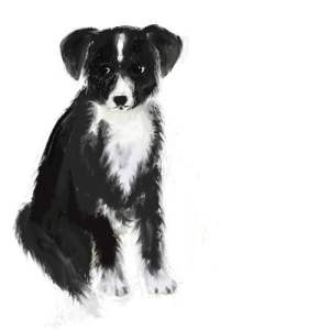 border-collie-pup